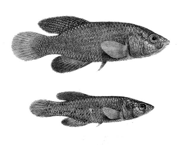 Anamalugo - Nothobranchius orthonotus