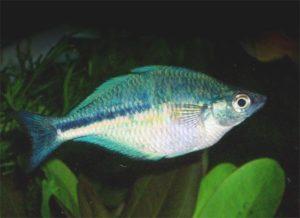 Der Aquamarin-Regenbogenfisch, auch Kutubu-See-Regenbogenfisch genannt