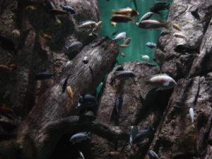 So könnte ein Malawibecken für Buntbarsche des Felslitorals aussehen