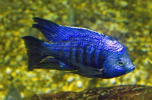 Ein herrlich metallisch azurblau gefärbtes  Männchen von Copadichromis azureus
