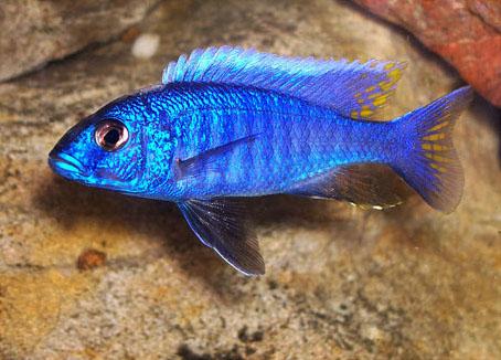 Prachtvoll gefärbtes Männchen des Azurcichliden Sciaenochromis fryeri