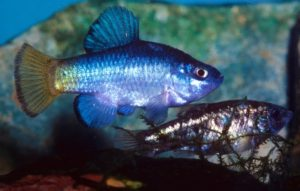 Blauer Wüstenfisch - Cyprinodon macularis