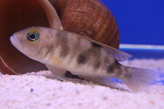 Boulengers Schneckenbuntbarsch