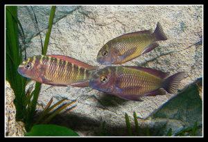 Tropheus Moorii - Red Rainbow