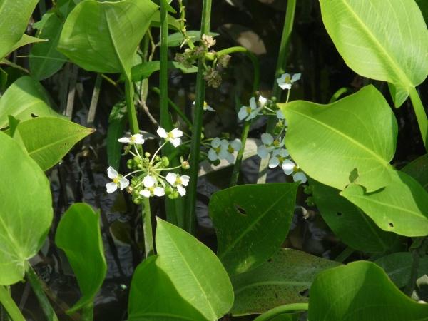 Über die Wasseroberfläche hinauswachsendes Breitblättriges Pfeilkraut mit Blütenständen