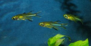Celebes-Segelfisch