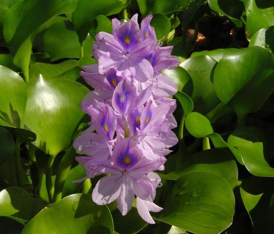 Blütenstand von Eichhornia crassipes