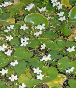 Ezannos Seekanne als emerse , blühende Schwimmblattpflanze