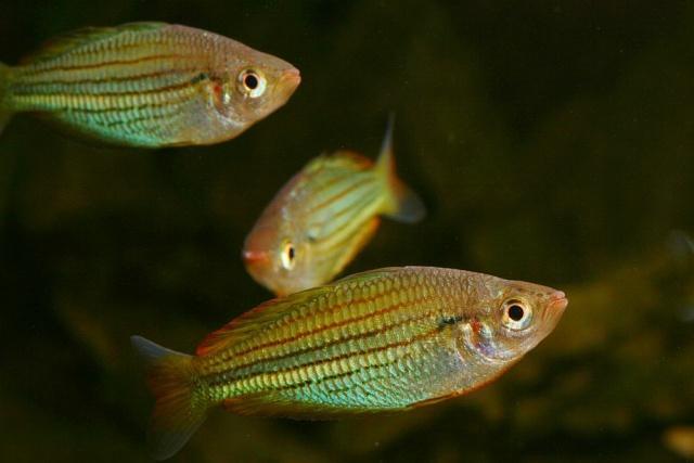 Eine Gruppe von Fly-Fluss-Regenbogenfischen