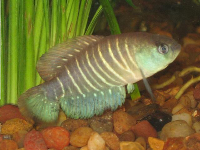 Gebänderter Fächerfisch - Austrolebias adloffi