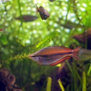 Gebänderter- oder Prachtregenbogenfisch Melanotaenia trifasciata