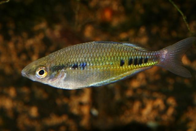 Gefleckter Regenbogenfisch