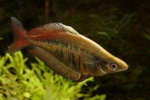 Gestreifter Regenbogenfisch