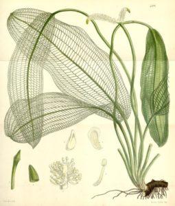 Gitterpflanze Aponogeton madagascariensis