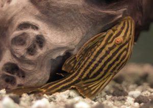 Panaque nigrolineatus, der Schwarzlinien-Harnischwels