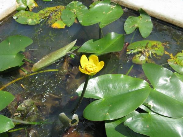 Blühende Japanische Teichrose