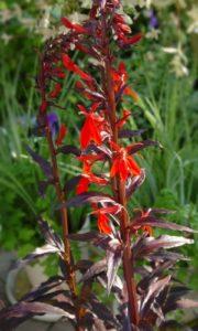 Emerser Blütenstand der Kardinals-Lobelie