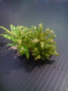Die Kleine Sternpflanze - Pogostemon helferi
