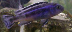 Männchen des Kobaltorange-Buntbarsches