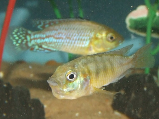 Kongo-Zwergmaulbrüter - Pseudocrenilabrus nicholsi