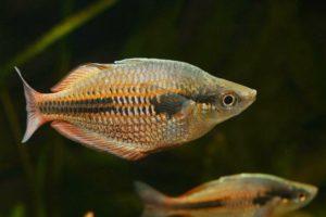 Lakamora-Regenbogenfisch
