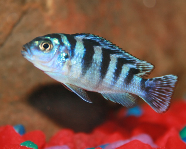 Weibchen von Maylandia lombardoi