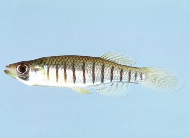 Linienkärpfling - Pseudotropheus elongatus
