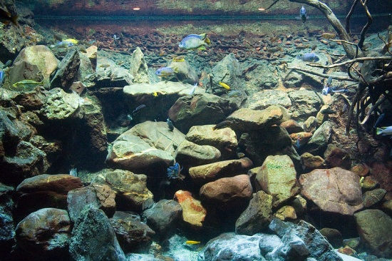 Das Malawi-Aquarium