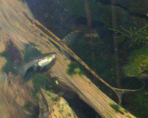Rechts ein Nadelwels Fralowella acus, links im Bild ein Guppy-Weibchen