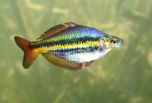 Nördlicher Regenbogenfisch