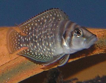Der Perlhuhn-Nanderbarsch