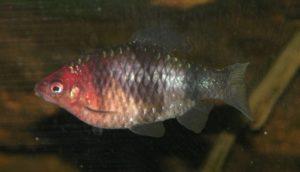 Purpurkopfbarbe