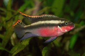 Purpurprachtbuntbarsch - Pelvicachromis pulcher