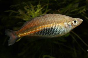 Männchen des Ramu-Regenbogenfischs