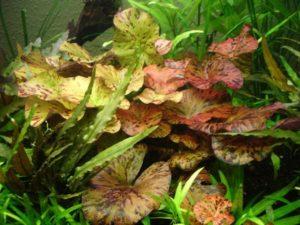 Der Rote Tigerlotus als Aquarienpflanze