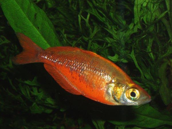 Roter Regenbogenfisch
