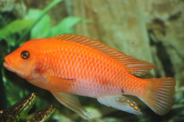 Männchen von Maylandia estherae