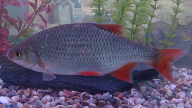 Rotfeder im Aquarium