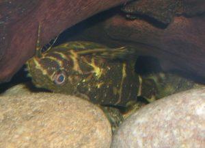Rückenschwimmender Kongowels - Synodontis nigriventis
