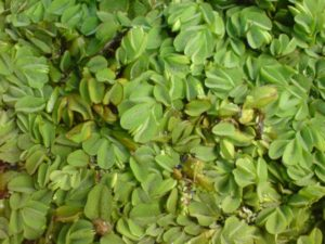 Eine dichte Schwimmpflanzendecke mit dem Rundblättrigen Schwimmfarn Salvinia auriculata, dazwischen einige kleine Wasserlinsen