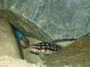 Julidochromis marlieri katoma