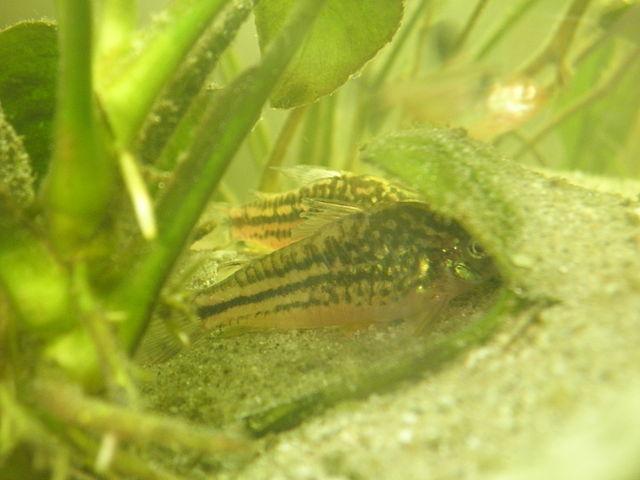 Schraffierter Panzerwels Corydoras elegans
