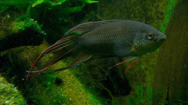 Männchen des Schwarzen Makropoden