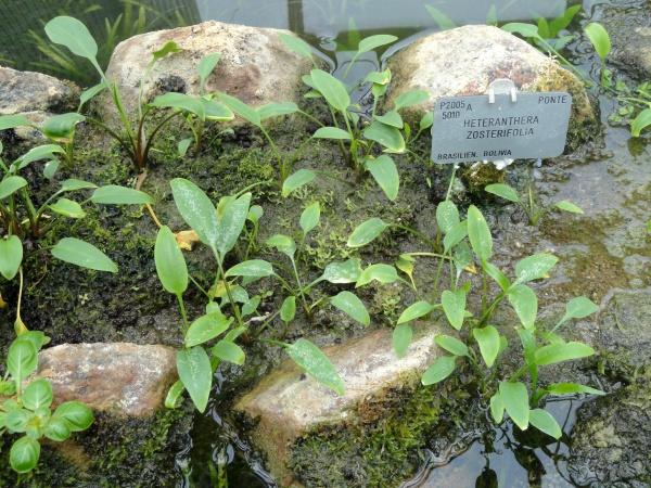 Als emerse Sumpfpflanze herangezogene Exemplare von Heteranthera zosterifolia