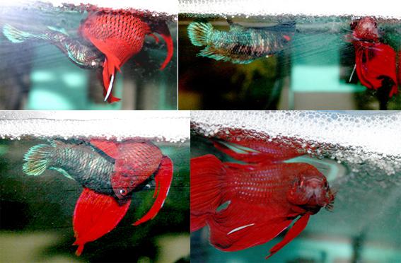 Ein Schleierkampffisch-Paar bei Paarung und Ablaichen unter dem Schaumnest