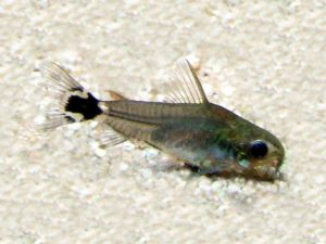 Sichelfleck-Panzerwels Corydoras hastatu
