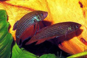 Pärchen von Smaragd-Kampffisch Betta smaragdina