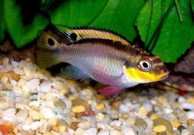 Smaragd-Prachtbuntbarsch - Pelvicachromis taeniata