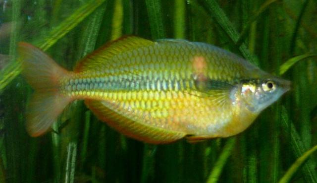 Männchen des Tebera-See-Regenbogenfischs