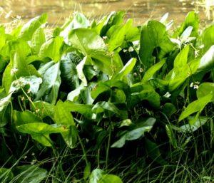 Emerse Form von Sagittaria latifolia